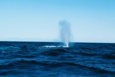 Somewhere deep within the waters of the North Pacific, a whale wanders alone. No one has ever seen him, but they've certainly heard him: this mystery whale's song has haunted marine researchers since oceanographer Bill Watkins first heard his strange voice calling in 1989. The whale's call was pitched higher than other whales'—52 hertz, to be exact, and so that's what they named the mysterious creature.