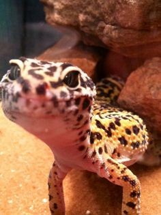 Geckos are so cute.i call one of my sisters little gecko sometimes. Lepord Gecko, Leopard Gecko Cute, Cute Gecko, Cute Funny Animals, Cute Baby Animals, Animals And Pets, Cute Reptiles, Reptiles And Amphibians, Cute Lizard
