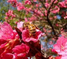 Cerejeirabee - Cerejeira – Wikipédia, a enciclopédia livre