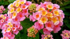 Heat-Loving Lantana Brings on the Blooms (and butterflies, too)