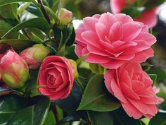 How to Grow and Care for Camellia - See more at: http://worldoffloweringplants.com/grow-care-camellia