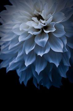 ✯ Dahlia ✯ A Perennial plant