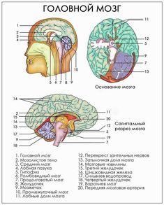 Brain Anatomy, Anatomy And Physiology, Back To School Organization Highschool, Study Biology, Neurology, Medical Students, Study Motivation, Anthropology, Chemistry