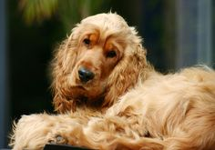 http://www.cutehomepets.com/get-to-know-a-cocker-spaniel/