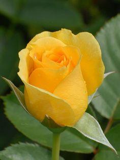 30+ Best Flower - Calla images | calla, calla lily, calla lillies