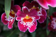 Pansy Orchid.