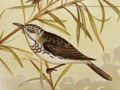 1891 Antique Broinowski print of BIRDS OF AUSTRALIA: Honey Eater. 123 ... Antique bird prints for bedroom