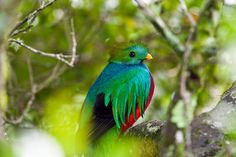 The Resplendent Quetzal (Pharomachrus mocinno) has colorful plumage on its head and body. These birds are very beautiful. Unfortunately, the quetzal is registered as a threatened bird on the IUCN Red List.  The birds live solitarily and are commonly found in Central American countries, lie El Salvador, Costa Rica, Guatemala, Nicaragua Honduras, as well as Panama. High altitude cloud-forests are their favorite dwellings but their ability of flying is pretty poor.   Animals that start with q…