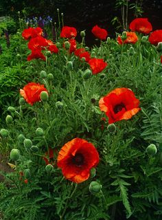 bright orange poppies...My orange poppy in my garden finally emerged from the ground.  For a minute I thought I pulled it as a weed.