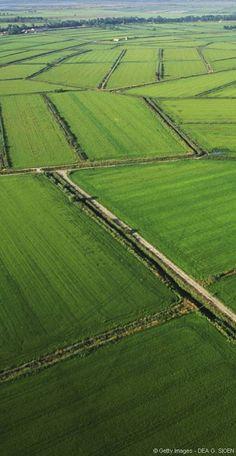 Les rizières de Camargue s'étalent sur près de 18 000 hectares. Les rizières de Camargue : un parfum d'Asie en terre méditerranéenne par Flora Frémont – Mercredi 9 septembre 2015 Partager Partager Partager Partager Située dans la zone la plus humide de France, la Camargue est un terrain propice à la riziculture. Totalement dépendante d'un système d'irrigation performant, l'exploitation intensive des terres commence véritablement dans les années 1950.