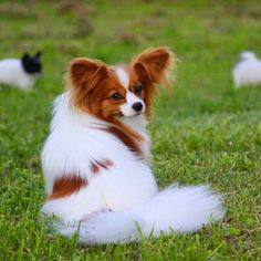 Top 5 Cutest Dog Breeds: 1- Papillons have a very long life expectancy (up to 17 years) and judging by their adorable features, they will surely fill your life with joy and happiness.