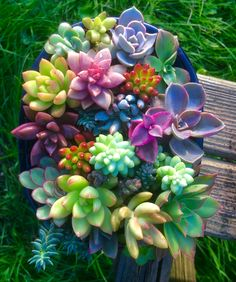 Succulent arrangement with 20 species. This includes graptosedum alpenglow and bronze, sediveria letezia, sedum adolphii, nussbaumerianum, stahlii, burrito, hispanicum and rubrotinctum, echeveria Purple Heart and lilacina , Aeonium leucoblepharum two forms.