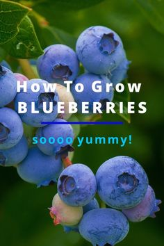 How To Grow Blueberries For Beginners Blueberries are nearly everybody's favorite…so you don't want to miss them in your garden! Learn here how to grow Blueberries in your garden and enjoy these delicious and healthy berries right from your own backyard! Home Vegetable Garden, Fruit Garden, Garden Seeds, Planting Seeds, Gardening For Beginners, Gardening Tips, Flower Gardening, Permaculture, Blueberry Tree