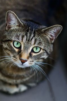 """Tabby Cats """"Acrobat, diplomat and simple Tabby cat. He conjures tangled forests in a furnished flat. Pretty Cats, Beautiful Cats, Animals Beautiful, Cute Animals, Pretty Kitty, Animals Images, I Love Cats, Crazy Cats, Cool Cats"""