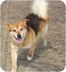 Special Needs! Vision impaired with cataracts!  Pictures of Sam a Sheltie, Shetland Sheepdog Mix for adoption in Kingwood, TX who needs a loving home. Sam was a cruelty case after being abandoned by his previous owner with no food or water.
