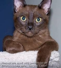 Brown burmese cat - this is a superb breed, with wonderful personality and very affectionate.