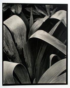 Paul Strand | Iris