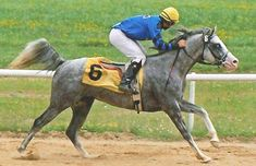 The Iceman is triple registered as a purebred Arabian, a Pinto, and, as an Arabian Sabino.