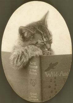 "[Fotografía de Clara Middleton, ca. 1905, Madison, Wisconsin. Un gato, que parece estar dormitando, se presenta con una copia abierta de Ernest Seton-Thompson ""Animales Salvajes que he conocido"". Fuente: Sociedad Histórica de Wisconsin.] » Photograph by Clara Middleton, ca. 1905. Madison, Wisconsin. Source: Wisconsin Historical Society.    A cat, which appears to be dozing, is posed with an open copy of Ernest Seton-Thompson's ""Wild Animals I Have Known."""