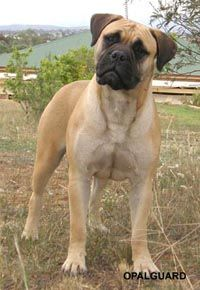 english bull mastiff | Bullmastiff puppies are for sale in the UK of England, Scotland, Wales ...