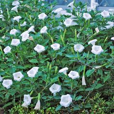 Moonflower (Ipomoea alba) is also known as tropical white morning-glory or moon vine. This is one of the species that bloom at night, hence the name. Balcony Garden, Garden Plants, Pergola, Vides, Climbing Vines, Do You Need, Plantation, Mystery, Bloom