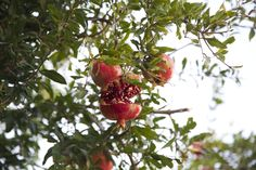 #pomegranate #tree #green #red #photography #nature I would like to hear your comment.