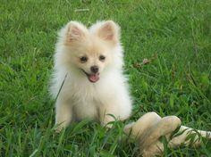 Pomeranian.....looks like my Tucker's momma