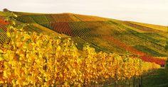 Autumn Vineyard   Weinstadt / Germany   By: Habub3   Flickr - Photo Sharing!