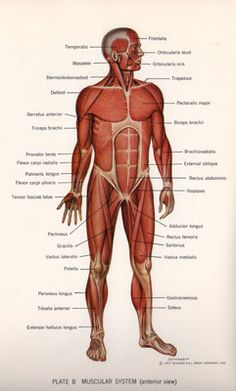 the human muscular system | muscular system | medical anatomy, human  muscular system, muscular system