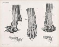 1922 Lion Anatomy Print Feline Illustration Lion by Craftissimo
