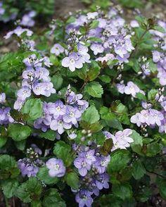Veronica waterperry blue (from Morningstar Perennials, planted between stones in walkway)