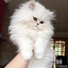 Persian Kittens Albino cats are not simply white cats. Here's everything you need to know about albino kitties. - Albino cats are not simply white cats. Here's everything you need to know about albino kitties. Cute Cats And Kittens, Kittens Cutest, Ragdoll Kittens, Funny Kittens, Bengal Cats, Siamese Cats, Pretty Cats, Beautiful Cats, Long Hair Cat Breeds