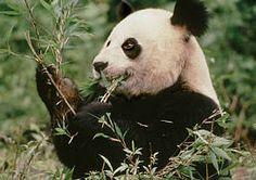 Pandas no longer on the Endangered Species List!