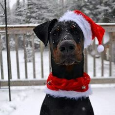 Doberman named Dante Doberman Colors, Doberman Love, Christmas Animals, Christmas Cats, Christmas 2014, Merry Christmas, Baby Dogs, Dogs And Puppies, Pincher Dog