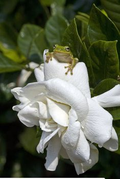 A green tree frog looks out from behind a gardenia petal - picture by wildlife photographer Joanne Williams