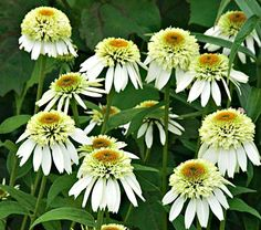 Echinacea Coconut Lime - haven't found this one locally yet.  You can bet I will be buying a few once I find them.
