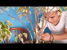 Cangkok Bahan bosan Beringin Putih Dengan Sabut Kelapa   Graft Bayan   盆栽移植 Bonsai, Bonsai Trees, String Garden