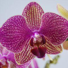 Orchidee Phalaenopsis Nemo | Vlinderorchidee | Orchidee in pot | Orchidee bestellen in onze orchidee shop | Nederland