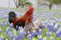 Chicken & Rooster falling in <3 in a field of bluebonnets