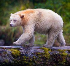 "Kermode ""Spirit"" Bear by Paul Burwell"