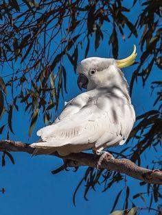 Sulphur-crested  -  Cockatoo