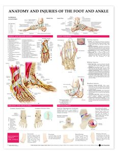 Anatomy and Injuries of the Foot & Ankle