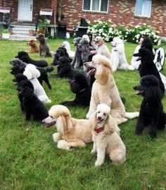 More POODLES. everywhere!!!
