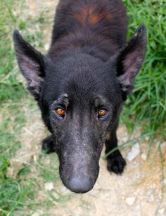 Mila is an adoptable German Shepherd Dog searching for a forever family near Memphis, TN. Use Petfinder to find adoptable pets in your area.