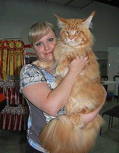Maine Coon cats are the largest domestic breed... this guy certainly is big with a weight of approximately 25 lbs!