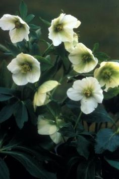 Helleborus orientalis Lenten Rose