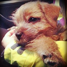 Manu♡♥♡♥♡ Norfolk Terrier