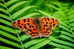 Mariposa Polygonia c-aureum               Japón