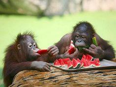 Cute Monkeys Eating Watermelon In The Summer