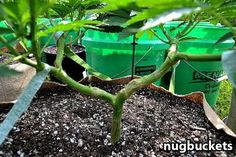 How is main-lining a clone different from starting from seed? Learn here: http://www.growweedeasy.com/main-line-clones-nugbuckets